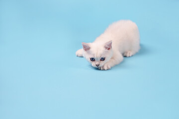 Active and playful white kitten on a blue background with copy space, studio photography