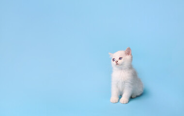 Little white kitten sits and waits on a blue background with a copy space, studio photography