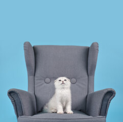White fold Scottish breed kitten in a gray armchair looks up and dreams, studio photo on a blue background with copy space