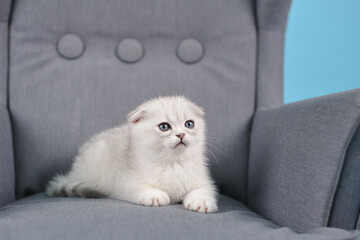 White fold Scottish breed kitten lies in a grey chair and looks forward, studio photography, close-up