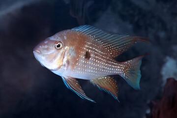 Threadfin Acara (Acarichthys heckelii)  fish from Amazon