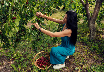 Young beautiful woman picking red fresh cherries in an orchard Harvesting season Beautiful spring weather Selective focus