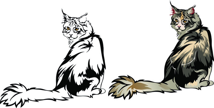 Maine Coon cat looks back sitting vector