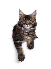 Wall Mural - Cute classic black tabby Maine Coon cat kitten, hanging with front paws over edge. Looking towards camera. Isolated on white background.