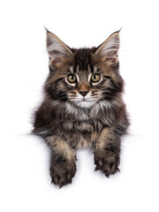 Wall Mural - Cute classic black tabby Maine Coon cat kitten, laying down facing front / hanging with front paws over edge. Looking towards camera. Isolated on white background.