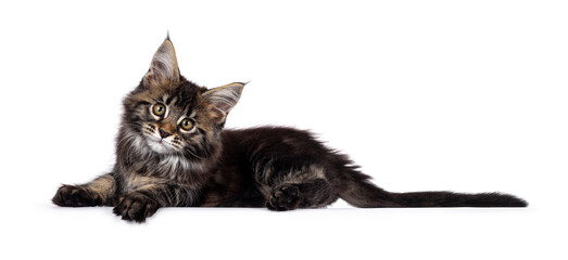 Wall Mural - Cute classic black tabby Maine Coon cat kitten, laying down side ways with front paws over edge. Looking towards camera. Isolated on white background.