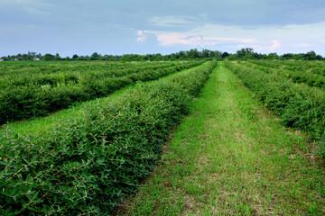 plantacja jagody kamczackiej