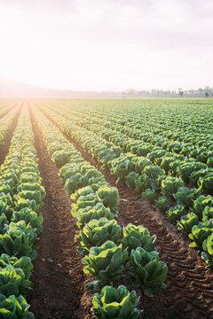 Lettuce field in Cartagena. Spain