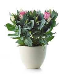 Wall Mural - blooming eustoma flower