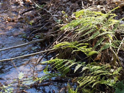 冬の小川とシダ植物