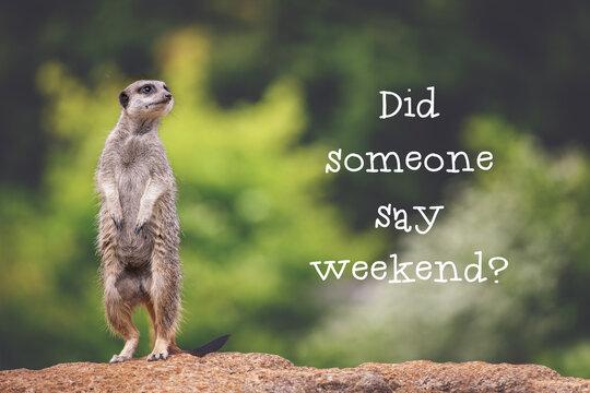 Meerkat asking if it's the weekend yet