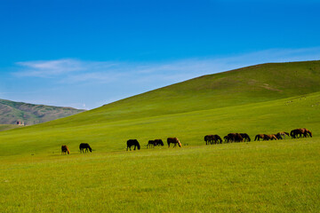 Herd of wild horses feeding on grass on beautiful lush green mongolian meadows, Mongolia
