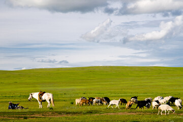 A shepherd resting and talking to his horse while goats are feeding on the grass on lush Mongolian meadows, Mongolia