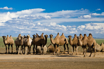 Group of camels resting in a desert, Mongolia