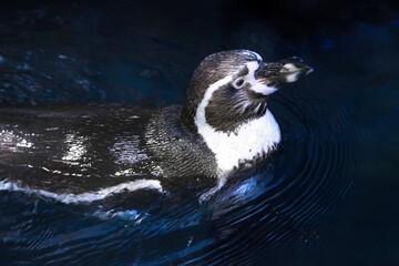Humboldt penguin (Spheniscus humboldti) swimming in the water
