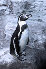 Humboldt penguin (Spheniscus humboldti) standing on rocks