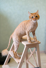Trimmed red cat. Haircut for a kitten. Shorthair cat is sitting on a chair and looking at the camera. Style and care for pets