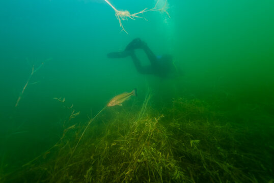 SCUBA Diver Swimming Away from Smallmouth Bass