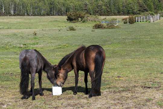 Two horses sharing a mineral block in a green landscape