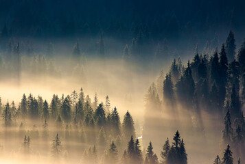 Wall Murals Morning with fog misty nature background. fog in the mountain valley. landscape with coniferous forest view from the top of a hill. fantastic glowing scenery