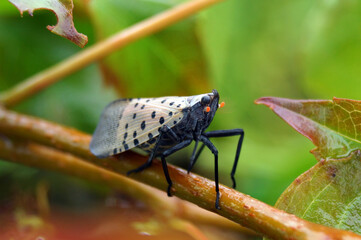 Horizontal image of adult spotted lanternfly (Lycorma delicatula) in early October (Bucks County, PA)