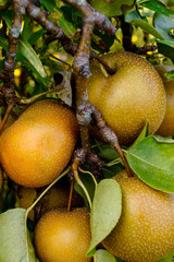 Vertical image of ripening Asian pear (Pyrus pyrifolia) fruits on the tree, showing a good view of the fruiting spurs