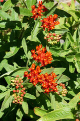 An orange-red form of butterfly weed (Asclepias tuberosa) grown from the seed mix 'Gay Butterflies'