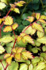 Vertical closeup of the bright yellow foliage of 'Amber Moon' astilbe (Astilbe 'Amber Moon')