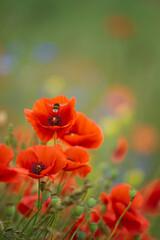 Obraz kwiaty maków polnych i pszczoła - fototapety do salonu