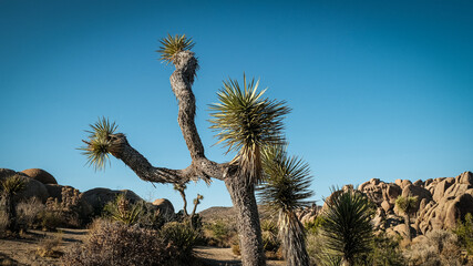 nature background.nature background. Joshua Tree National Park.