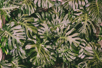 nature background. monstera  green leaf.