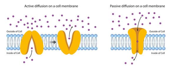 Diffusion Across the Plasma Membrane. JPG illustration