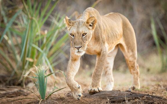 Alert lioness walking through the bush in Samburu Reserve Kenya