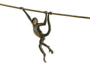 young spider monkey on the rope followed by adult