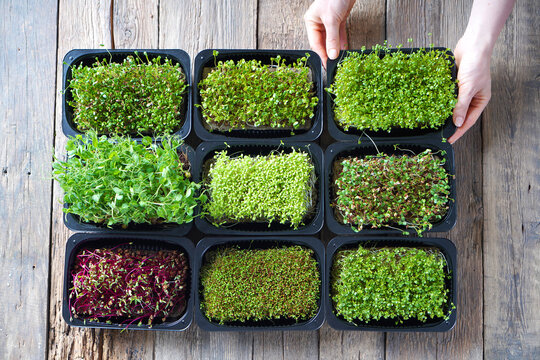 Microgreens growing background with microgreen sprouts on the wooden table. Top view.