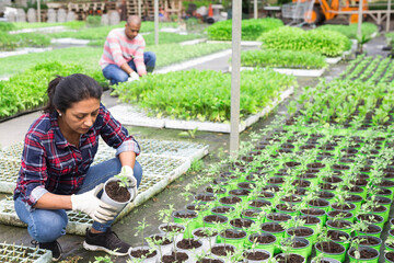 Team of farmers work in greenhouse - cultivating for plants