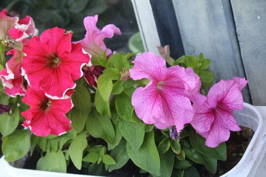 Colorful multiflora petunias