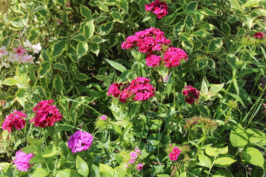 The image of flower red dianthus barbatus