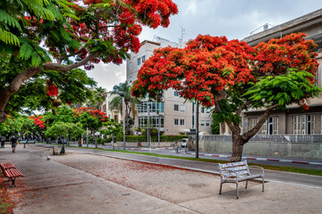 Poinciana trees on  Boulevard Rothschild in Tel Aviv, Israel.