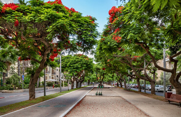 Delonis ( Poinciana) trees on  Boulevard Rothschild in Tel Aviv.