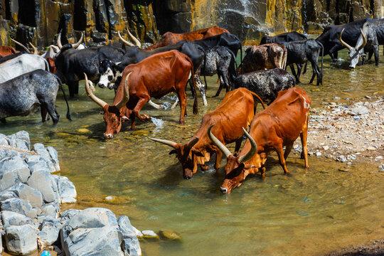Longhorn cattle drinking water