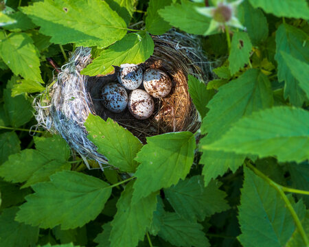 tiny bird's eggs in nest