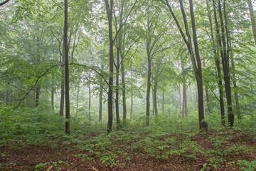 Papiers peints Olive Bukwy las w porannej mgle