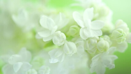 Fotoväggar - White Lilac flowers bunch background. Beautiful opening white Lilac flower Easter design closeup. Beauty fragrant tiny flowers open closeup. Nature blooming flowers backdrop. Time lapse 4K UHD