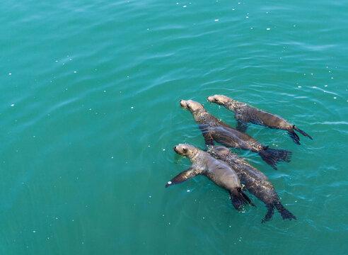 Família de leões marinhos nadando em um mar calmo e verde