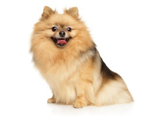 Portrait of a Pomeranian Spitz Fotobehang