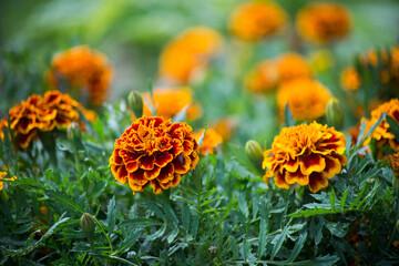 Closeup of orange color marigold flowers in a public garden