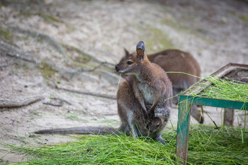 Kangaroo with a small child in a bag on its stomach