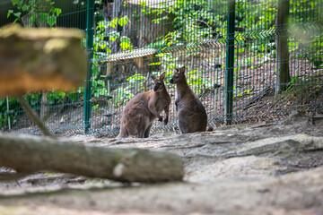 Two kangaroos standing together