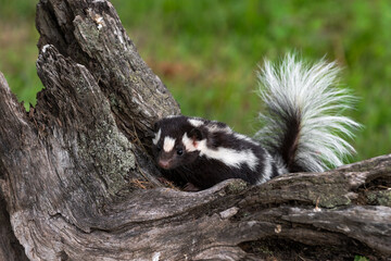 Eastern Spotted Skunk (Spilogale putorius) Peers Over Top of Log Tail Up Summer